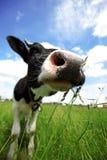 Vaca en campo verde Fotos de archivo libres de regalías