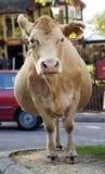 Vaca en el camino. Fotografía de archivo libre de regalías