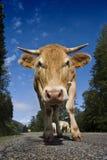 Vaca en el camino Imágenes de archivo libres de regalías