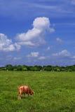 Vaca en el campo Imagen de archivo libre de regalías