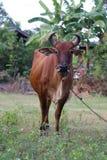 Vaca en el campo Fotografía de archivo