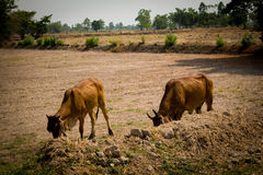 Vaca en el campo Fotografía de archivo libre de regalías
