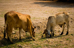 Vaca en el campo Foto de archivo libre de regalías