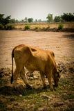 Vaca en el campo Imagen de archivo