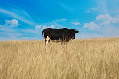 Vaca en el campo de granja Fotografía de archivo