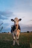 Vaca en el campo durante la puesta del sol Imagen de archivo