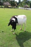 Vaca en el campo verde fotos de archivo