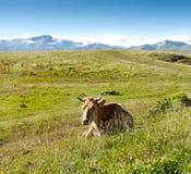 Vaca en el fondo de prados verdes y del cielo azul Imagen de archivo