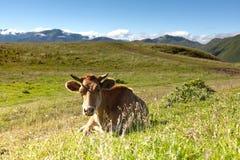 Vaca en el fondo de prados verdes y del cielo azul Fotografía de archivo