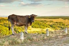 Vaca en el fondo de prados verdes y del cielo azul Foto de archivo