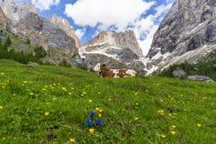 Vaca en el fondo del macizo de Marmolada Val Rosalia, dolomías, Italia fotos de archivo