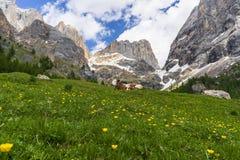 Vaca en el fondo del macizo de Marmolada Val Rosalia, dolomías, Italia fotos de archivo libres de regalías