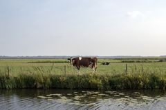 Vaca en el otro lado del río, soportes en la orilla, miradas en el agua, en un pasto verde fotografía de archivo libre de regalías