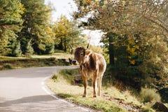 Vaca en el paisaje del bosque fotografía de archivo