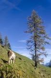 Vaca en el pasto Foto de archivo libre de regalías