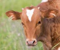 Vaca en el pasto imagen de archivo