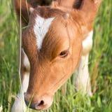Vaca en el pasto imágenes de archivo libres de regalías