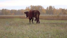 Vaca en el pasto en el otoño almacen de video