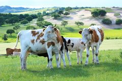 Vaca en el prado Fotos de archivo