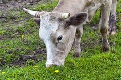 Vaca en el prado Imágenes de archivo libres de regalías