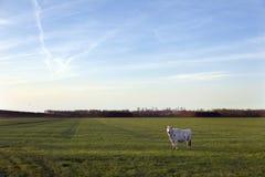 Vaca en el prado del purmer del pólder cerca del purmerend al norte de Amsterdam Imagenes de archivo