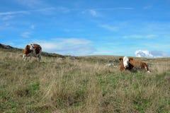 Vaca en el prado en las montañas fotografía de archivo