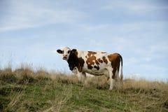 Vaca en el prado en las montañas imagen de archivo