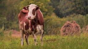Vaca en el prado que pasta la hierba Concepto de la leche de Oranic Cultivo del fondo Turismo verde forma de vida del eco Sano metrajes