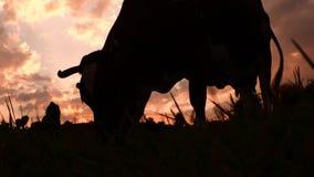 Vaca en el prado que pasta la hierba Cultivo del fondo Turismo verde forma de vida del eco Concepto sano de la forma de vida pequ metrajes