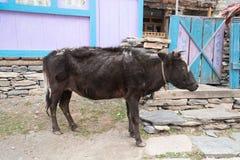 Vaca en el pueblo de Nepal, paisaje en el circuito de Annapurna, emigrando adentro Foto de archivo libre de regalías