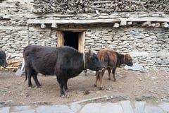 Vaca en el pueblo de Nepal, paisaje en el circuito de Annapurna, emigrando adentro Imágenes de archivo libres de regalías