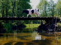 Vaca en el puente de madera Fotos de archivo libres de regalías