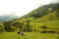 Vaca en el valle de Cocora foto de archivo libre de regalías