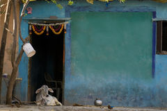 Vaca en frente una casa azul Imagen de archivo