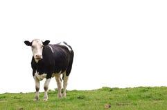 Vaca en hierba Fotografía de archivo
