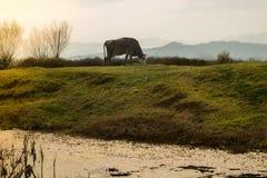 Vaca en hierba verde y el cielo de la tarde con la luz Imágenes de archivo libres de regalías