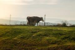 Vaca en hierba verde y el cielo de la tarde con la luz Imagen de archivo libre de regalías
