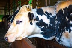 Vaca en la alimentaci?n que espera de la granja para imagen de archivo