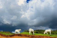 Vaca en la colina Foto de archivo libre de regalías