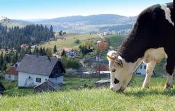 Vaca en la colina Imagen de archivo libre de regalías