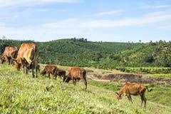 Vaca en la hierba del campo Fotos de archivo