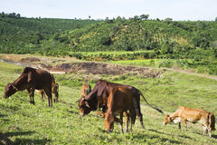 Vaca en la hierba del campo Imagen de archivo libre de regalías