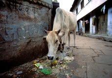 Vaca en la India imagenes de archivo