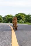 Vaca en la línea amarilla, camino pavimentado Imagenes de archivo