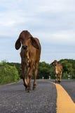 Vaca en la línea amarilla, camino pavimentado Imágenes de archivo libres de regalías