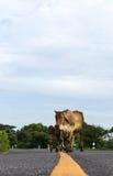 Vaca en la línea amarilla, camino pavimentado Fotos de archivo