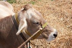 Vaca en la paja Imagen de archivo libre de regalías