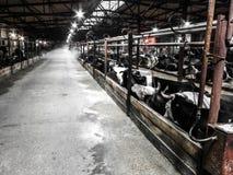 Vaca en la parada Imagen de archivo libre de regalías