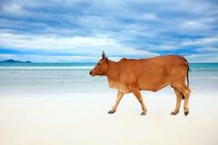 Vaca en la playa Fotografía de archivo libre de regalías