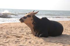 Vaca en la playa imagen de archivo